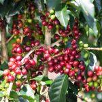 Entregan LPS. 15 millones en financiamiento a 350 productores de café
