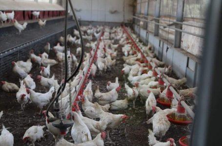 Avicultura hondureña reporta crecimiento del 4.3% y garantiza producción
