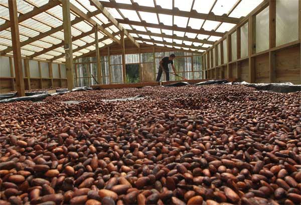 Exportaciones de cacao dejan cerca de $. 5 millones en divisas