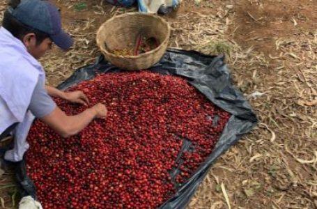 Más de 1,500 quintales de café se han exportado a Alemania desde El Paraíso