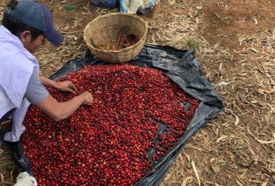 Guatemaltecos cortan café hondureño ante la falta de mano de obra en el país