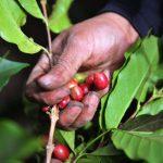Grupo Mercon y World Coffee Research investigan nuevas variedades de café en Honduras