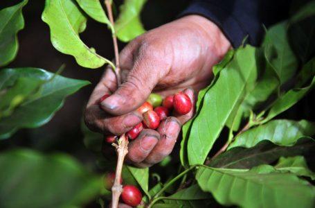 Más de un millón de cortadores se requieren para sacar adelante cosecha de café