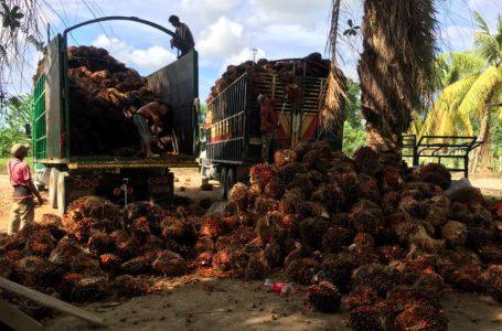 Exportación de palma superaría los $. 500 millones en divisaseste año