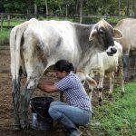 Producción de leche aumenta en 600 mil litros pese a pandemia