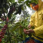 Unos 850 millones de dólares generará exportación de café en la presente cosecha