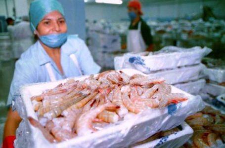 Exportaciones de camarónapuntan a los 200 millones de dólares en divisas