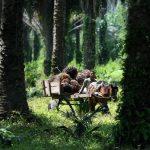 Exportación de aceite de palma africana no ha parado pese a Covid-19, pero precios han bajado
