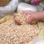 Proyectan producción de un millón de quintales de maíz para satisfacer demanda interna