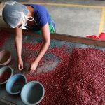 IHMA destinará 75 millones de lempiras para compra de frijol en cosecha de primera