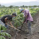 Unos L. 1,100 millones han colocado para financiamiento del sector agropecuario