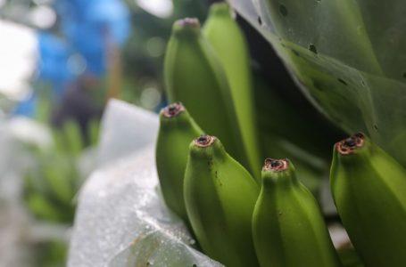 Unos $. 350 millones en divisas generará exportación de bananoeste año