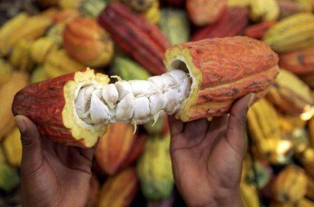 Al menos 1,700 toneladas de cacao se proyectan cosechar en el presente año