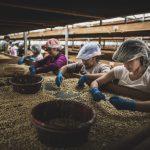 Exportaciones de café bajan 18.5 por ciento en 8 meses de cosecha