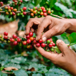 Productores con esperanza de tener un precio de 140 dólares por saco de café