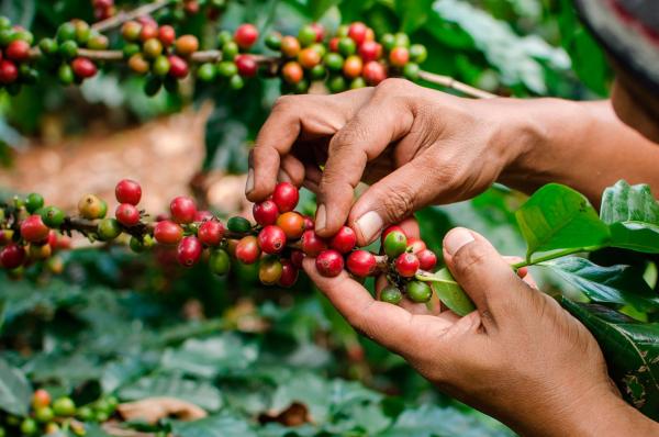 Honduras exportó el café producidocon un buen precio al cierre de cosecha