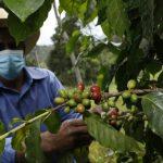 Aumento significativo del precio internacional de café oxigena a productores