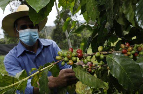 Unos 11,420 caficultores de la zona central del país recibirán bono productivo