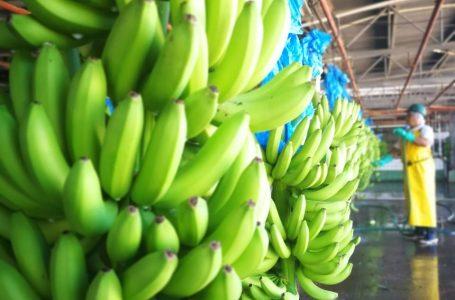 Para cubrir la demanda nacional, Honduras importa banano de Costa Rica