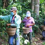 Precio del café hondureño se fortalece hasta 15 dólares en última cosecha