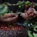 No está determinado si incremento en divisas es por precio o aumento en exportaciones de café