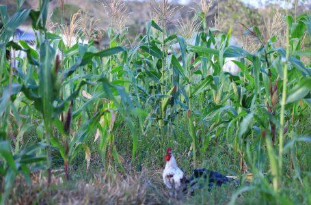 Lluvias condicionan la producción de 8 millones de quintales de maíz