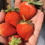 Con créditos al 8.7 por ciento de interés reactivarán la producción de fresas