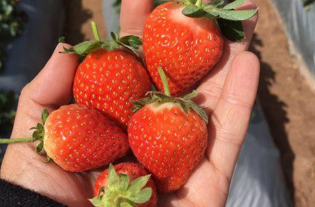 Unas 200 mil libras de fresas producirán en Intibucápara satisfacer demanda nacional