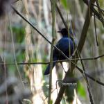 Avistadas dos especies de aves muy raras en Roatán