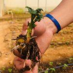 En incremento producción de papa, fresa y aguacate