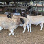 Producción ovina y caprina tendrán un importante impulso en Honduras