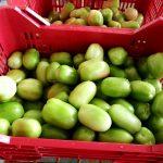Honduras exportará dos contenedores diarios de tomate verde a Estados Unidos
