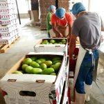 Honduras envía contenedor con tomate verde hacia EE.UU.