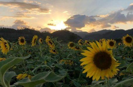 Paseo de los Girasoles, nuevo punto obligatorio para turistas que visitan Copán Ruinas