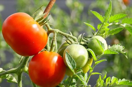 Honduras explora posibilidad de exportar tomate manzano a EEUU