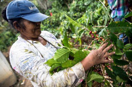 Cafetaleros urgen nueva readecuación de deudas porque aún resienten paso de huracanes