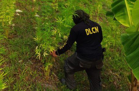 Autoridades desmanteladas varias plantaciones de marihuana en Colón