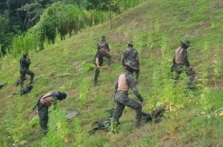 FFAA incineran 25 mil plantas de marihuana en Tocoa, Colón