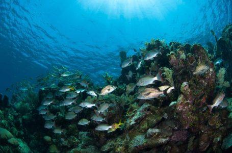 Nueva enfermedad arrasa arrecifes de Roatán; Tela sigue en jaque por sobrepesca
