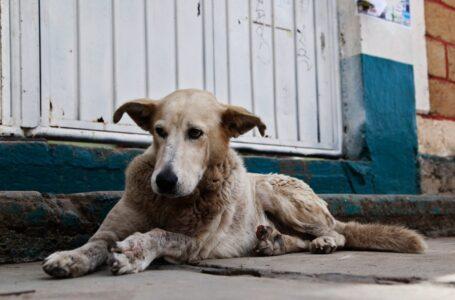 """Detectan un perro """"callejero"""" positivo de Covid-19 en Honduras"""
