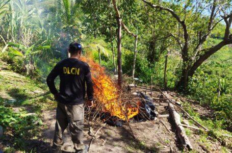 Incineran aproximadamente 1,500 plantas de supuesta marihuana, en Colón