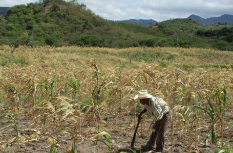 Cultivos de cinco departamentos son afectados por la sequía en Honduras