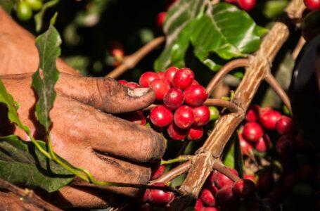 Próxima cosecha de café podría ser similar a la actual y dejar unos U$1000 millones en divisas