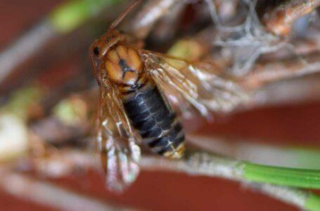 Mosca sierra es la nueva plaga que está afectando el bosque de pino en Honduras