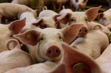 Honduras en alerta máxima por Peste Porcina detectada en la Dominicana