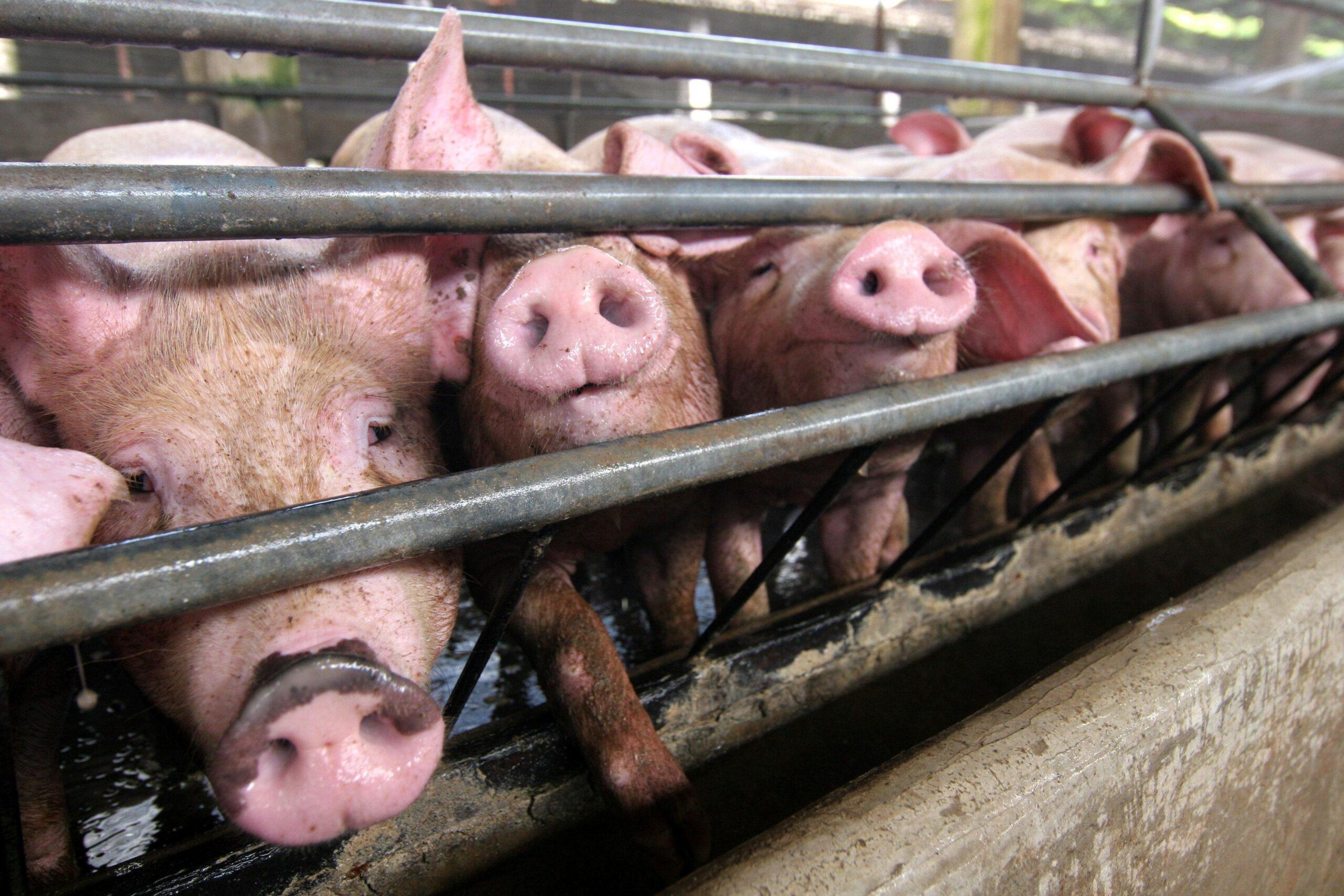 Honduras debe estar vigilante por alarma de casos de gripe porcina en República Dominicana