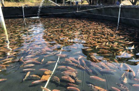 Honduras está produciendo 11 millones de libras de tilapia