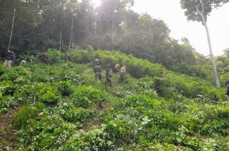 Autoridades localizan nuevo sembradío de coca y narcolaboratorio en Colón