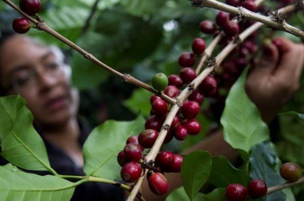 Productores optimistas porque el precio internacional del café anda arriba de los 200 dólares